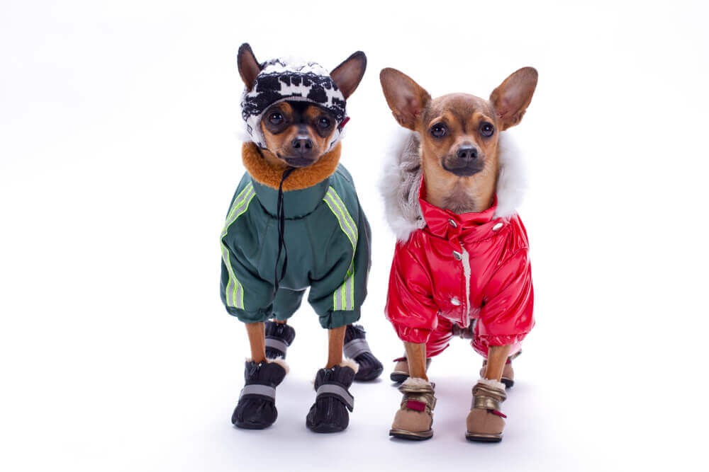 cães com roupas de frio