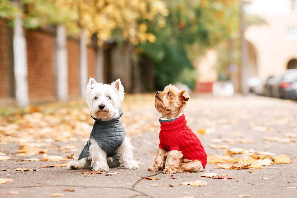 Cães usando roupa no outono