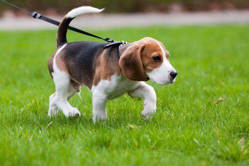 Beagle na coleira passeando