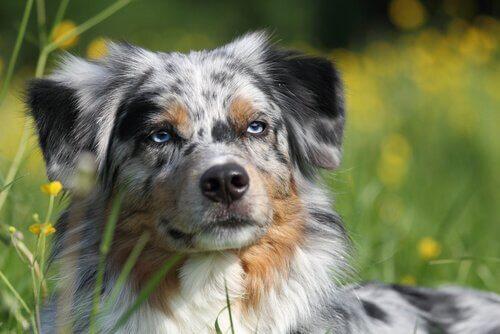 cão pastor australiano em um matagal