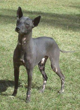 cão pila argentino