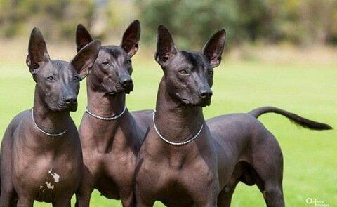 Raças de cães sem pelos: pila argentino