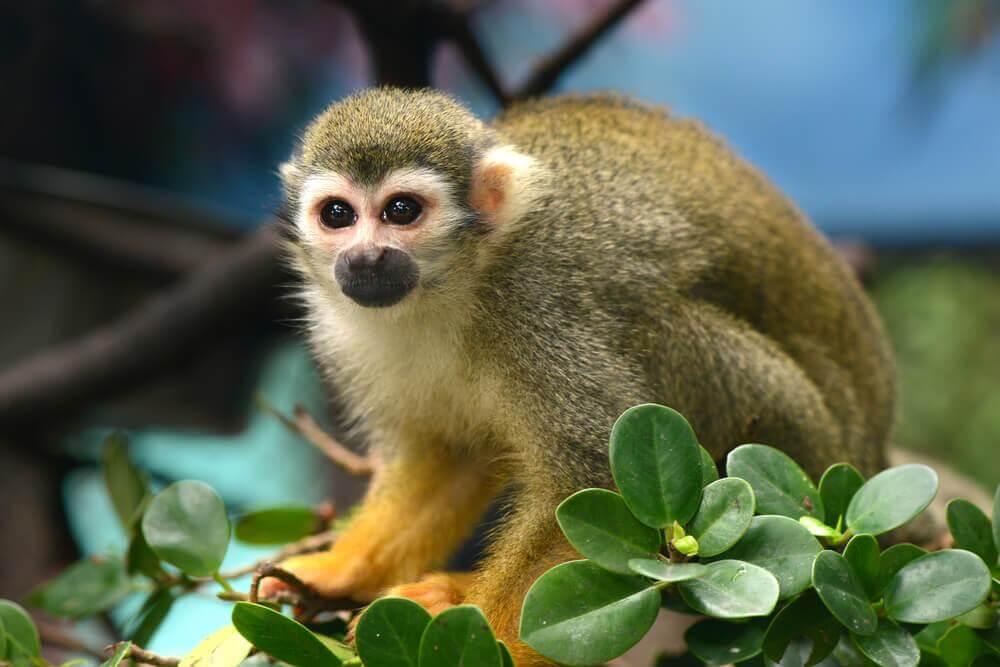 Características do macaco-de-cheiro