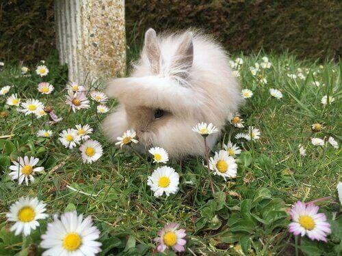 Coelho cabeça de leão entre flores do campo