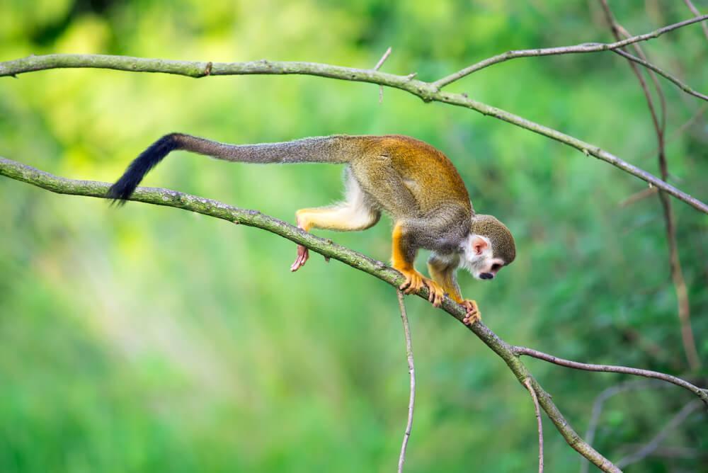Macaco-de-cheiro em árvore