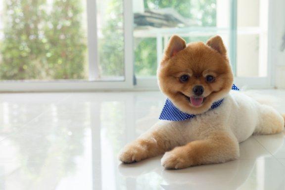 Cortes e penteados especiais para cães