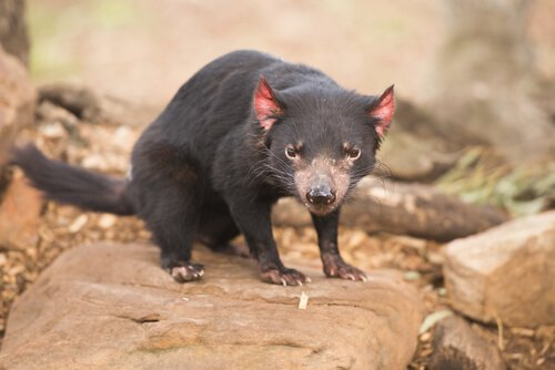 Austrália, o país dos marsupiais