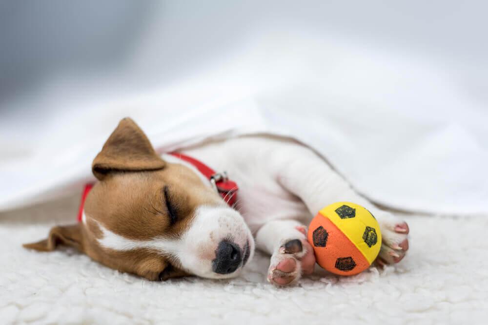 filhote dormindo com bola