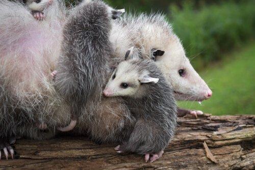 Gambá fêmea com filhotes