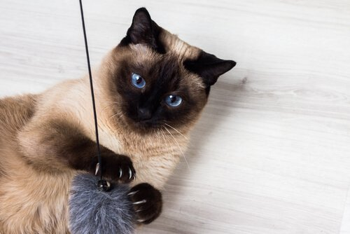 Gato siamês é um dos mais carinhosos