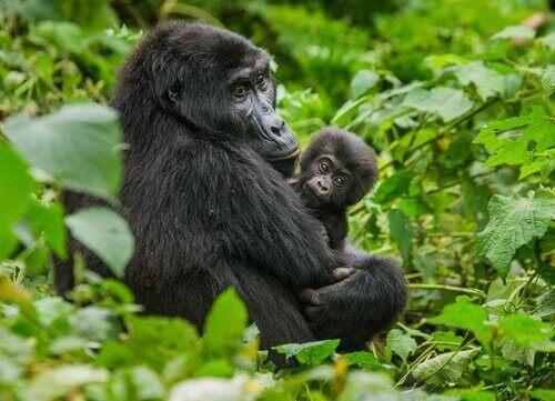 Gorila da montanha com filhote