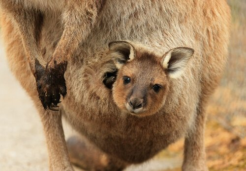 filhote de canguru na bolsa