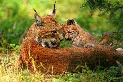 Lince boreal com filhote