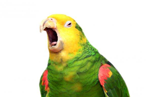 Os papagaios entendem o que dizem?