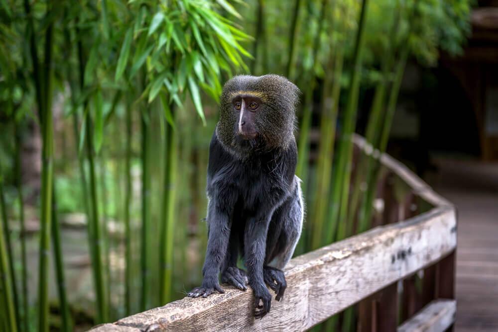 macaco-coruja na árvore