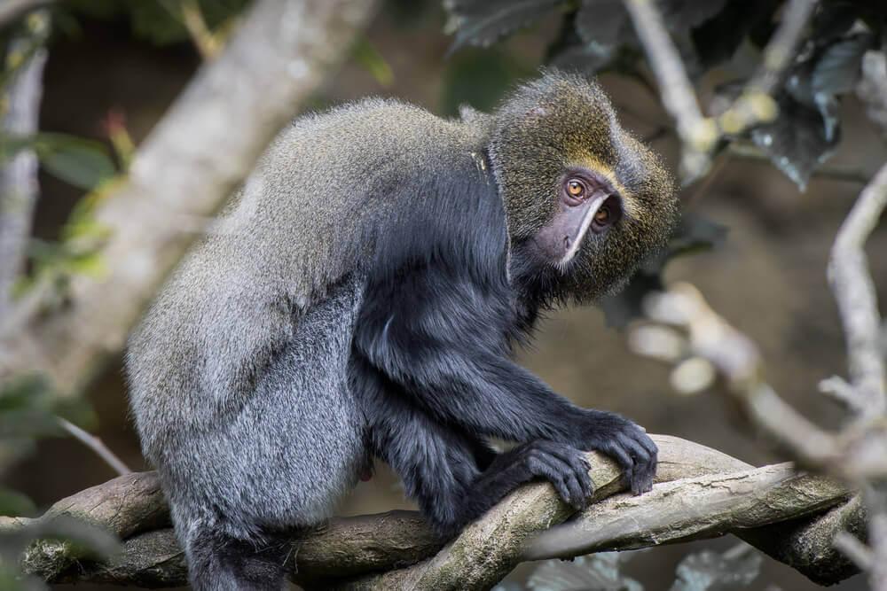 macaco-coruja habitat