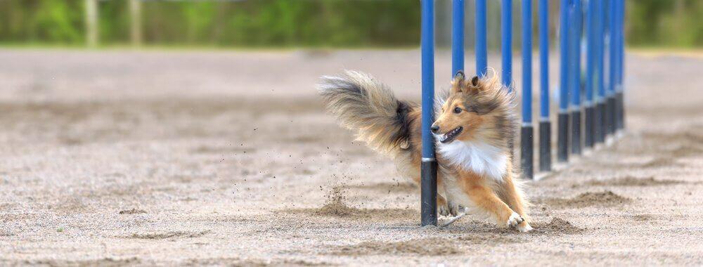 cão em competição esportiva