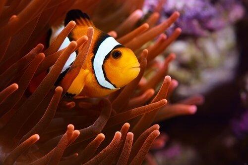 peixe-palhaço com anêmona