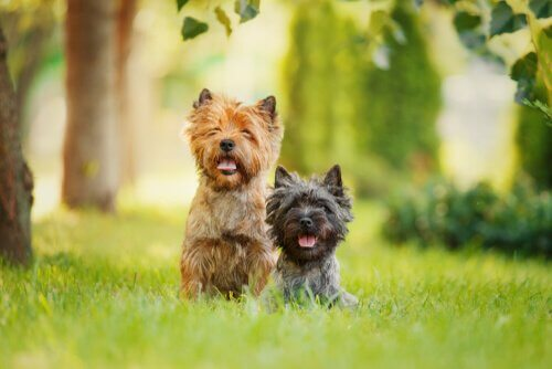 terriers no jardim