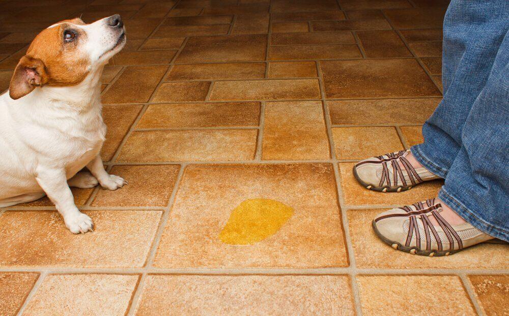 cão faz xixi fora do lugar
