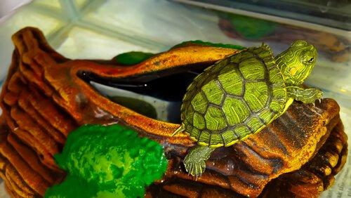 tartaruga em terrário