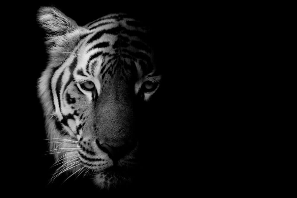 tigre na noite