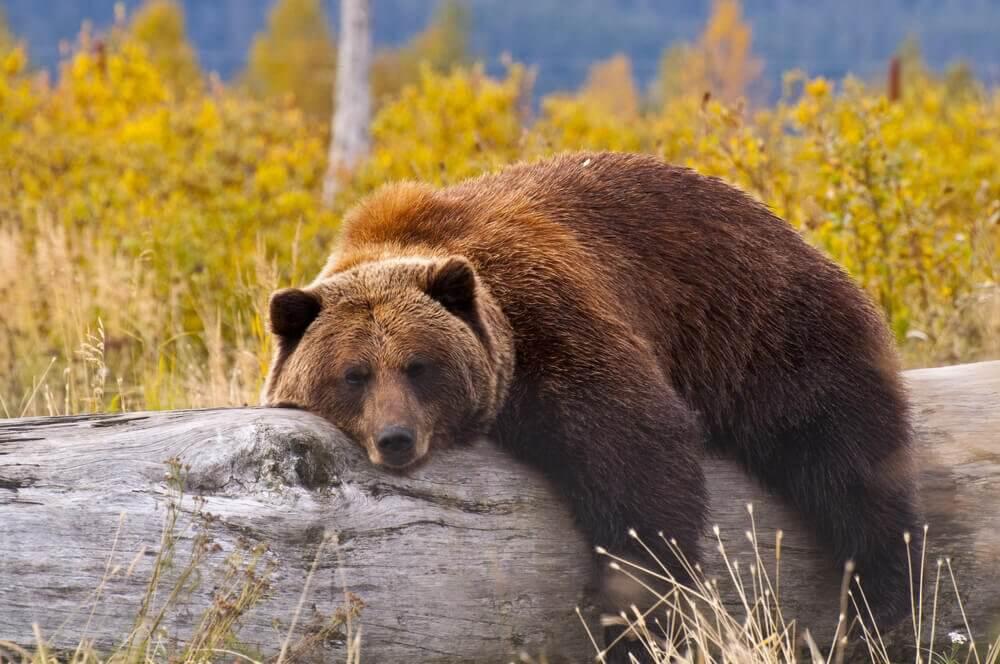 urso deitado na árvore