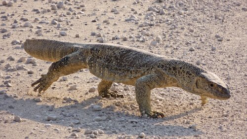 lagarto varano do deserto