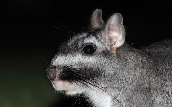 Viscacha comum: conheça esse roedor