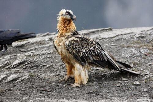 O abutre-barbudo: características e curiosidades