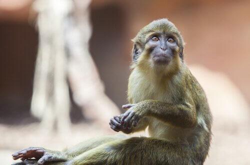 Miopithecus: características, comportamento e habitat