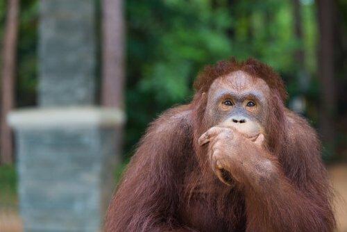 Os orangotangos reinventam o anzol