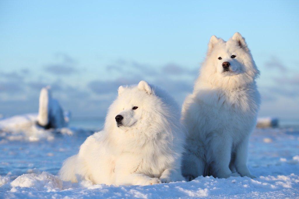 Origem do cão Samoieda, uma das raças mais antigas do mundo