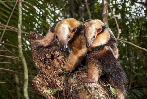 Tamanduás-mirins em árvore