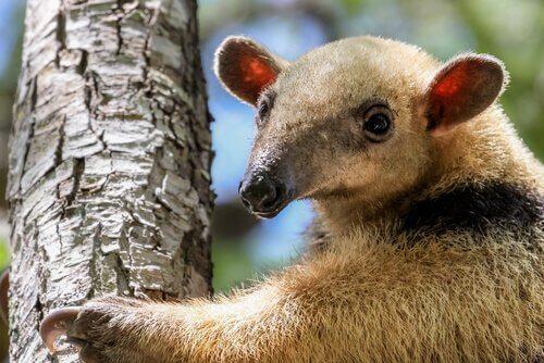 O tamanduá-mirim, tudo sobre essa espécie