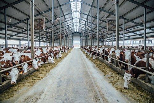 Vacas numa fazenda