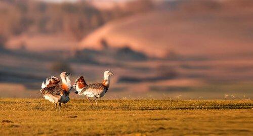 pássaros abetarda
