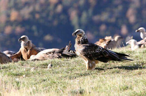 Características do abutre-barbudo