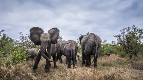 elefantes agressivos