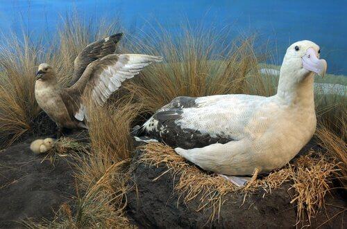 Situação atual do albatroz-de-cauda-curta