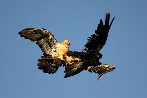 Abutre-barbudo em pleno voo
