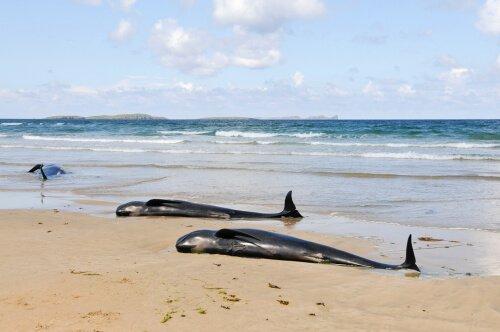Cetáceos mortos na praia