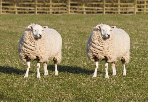 Animais transgênicos: ovelhas