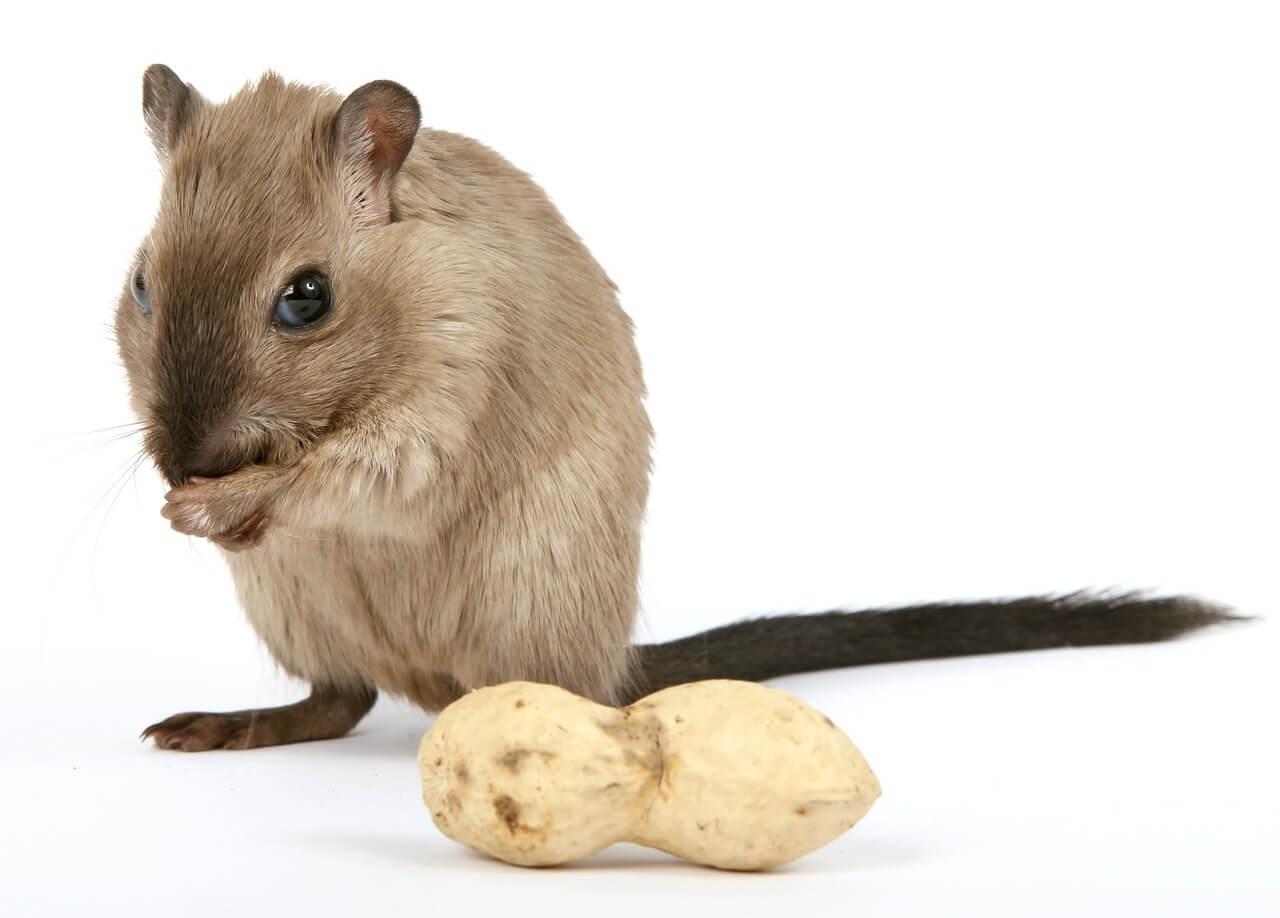 Hamster comendo amendoim