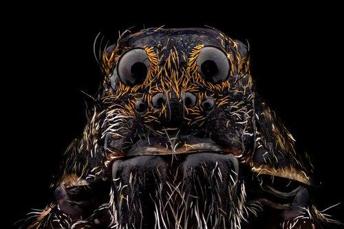 A aranha-lobo: como identificá-la