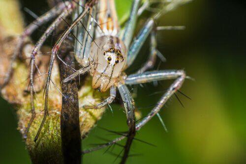Aranhas sorridentes: comportamento e habitat