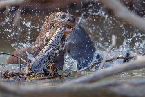 Ariranha caçando peixe