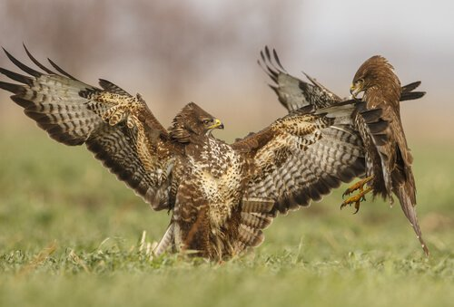 Aves brigando por alimento