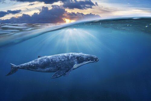 O estresse das baleias na Segunda Guerra Mundial