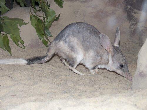 animais da australia bilby